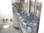 Voederen van de jonge duiven.jpg