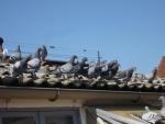 jonge duiven 2014.jpg